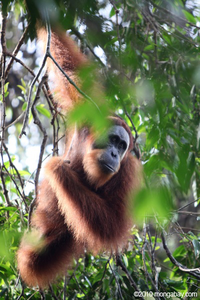 The Sumatran orangutan is considered Critically Endangered as forests continue to fall in Sumatra. Photo by: Rhett A. Butler.