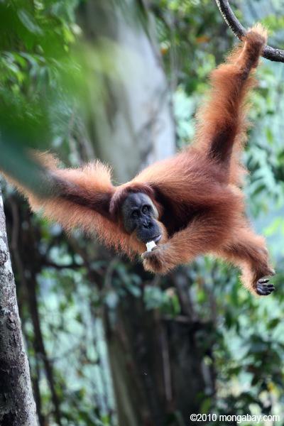 Sumatran orangutan. Photo by: Rhett A. Butler.