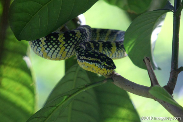 A venomous tree viper native to Sumatra. Given widespread deforestation in Sumatra, this species may be imperiled. Photo by: Rhett A. Butler.