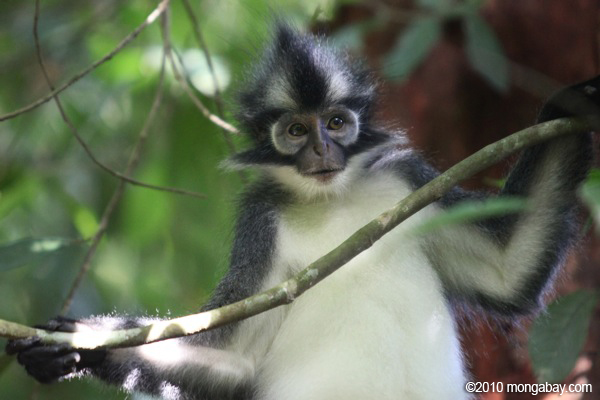 Thomas' leaf monkey in Sumatra. Photo by: Rhett A. Butler.