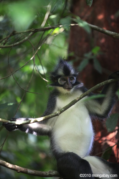 Thomas' leaf monkey. Photo by: Rhett A. Butler.
