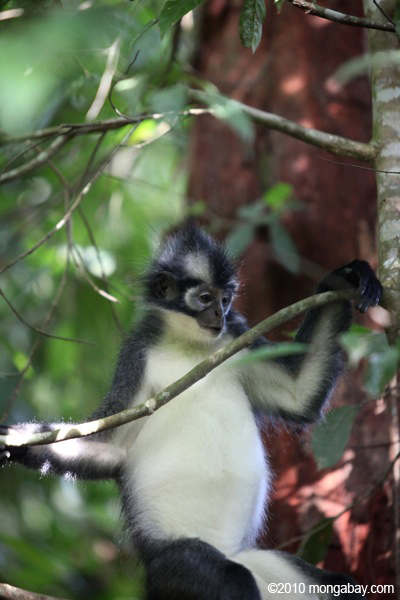 Thomas's leaf monkey in Sumatra. Photo by: Rhett A. Butler.