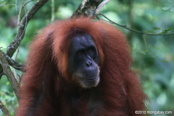 Orangutan in Sumatra. Photo by: Rhett A. Butler.