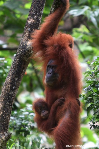 Mother and baby orangutan in tree in Sumatra. Photo by: Rhett A. Butler.
