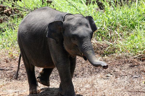 A Sumatran elephant calf. Photo by Rhett A. Butler.