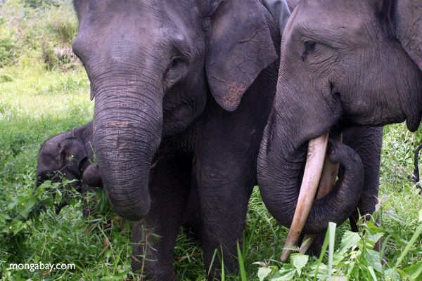 Sumatran elephants (Elephas maximus sumatranus). Human-wildlife conflicts are becoming more common as they're squeezed into smaller and smaller areas. Photo by Rhett A. Butler.