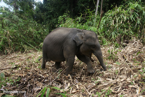 Baby Sumatran elephant on the run.