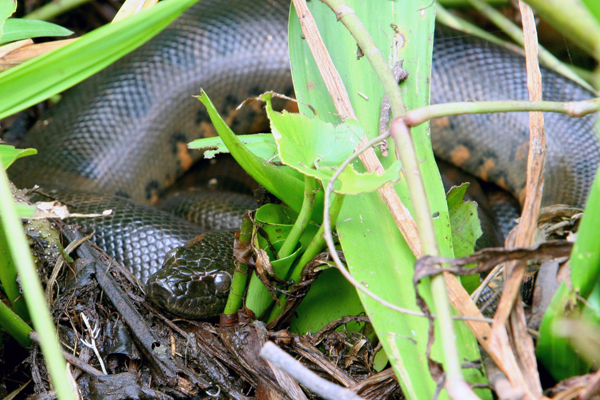 Juvenile green anaconda (Eunectes murinus) in Yasuni National Park. Photo by: Jeremy Hance.