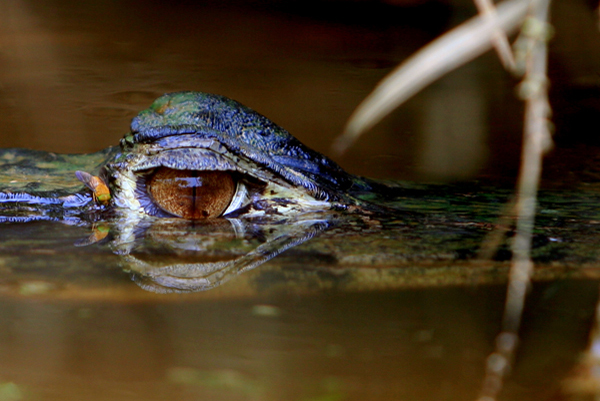 Black caiman (Melanosuchus niger) with fly near its eye in an ox-bow lake in Yasuni National Park. Photo by: Jeremy Hance.
