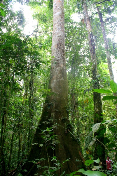 New research shows that a mere 1 percent of tree species in the Amazon are responsible for half the forest's carbon storage and productivity. Photo credit: Jeremy Hance.