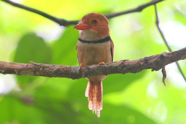 Scientists have discovered a new species of puffbird in the Brazilian Amazon. This is a collared puffbird (Bucco capensis) in Yasuni National Park in the Ecuadorian Amazon. Photo by: Jeremy Hance.