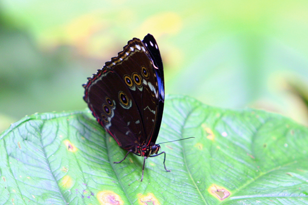 Morpho butterfly in Yasuni National Park. Photo by: Jeremy Hance.