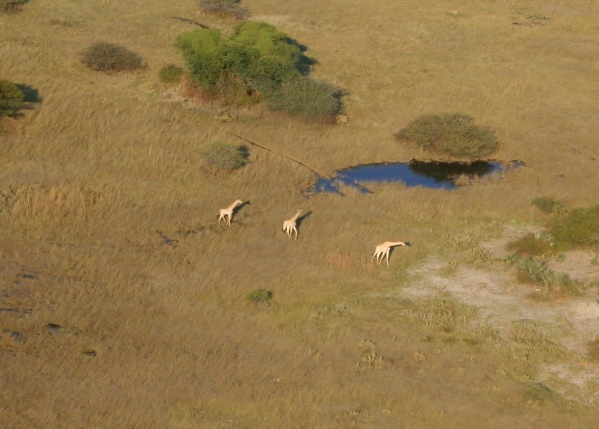 Aerial view of South African giraffes (Giraffa camelopardalis giraffa) in the Okavango delta