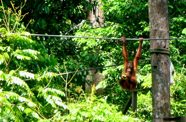 Bornean orangutan (Pongo pygmaeus) in rehabilitation at Sepilok