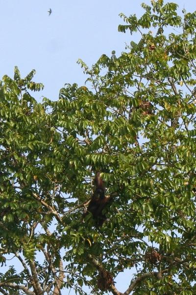 Wild male Bornean orangutan (Pongo pygmaeus) in a tree along the Kinabantagan River in Sabah, Malaysia