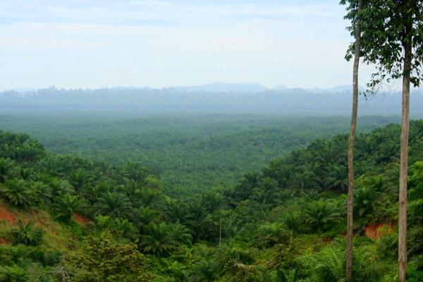 Palm plantation near Tabin Wildlife Reserve, Sabah, Malaysia