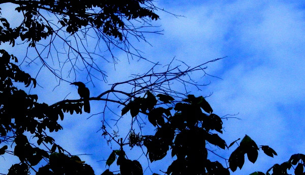 Silhouette of a hornbill (unidentified species) in Tabin Wildlife Reserve, Sabah, Malaysia