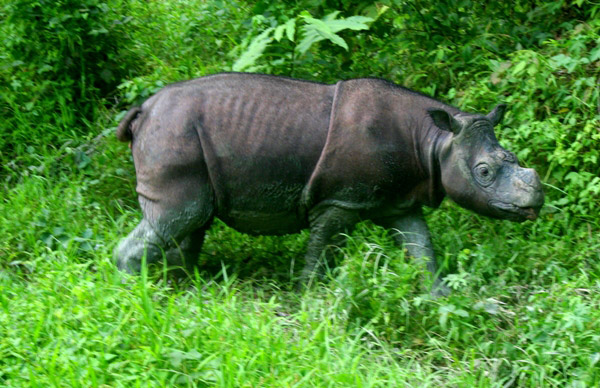 This is a Bornean rhino, a subspecies of the Sumatran rhino (Dicerorhinus sumatrensis). There are an estimated less than 250 Sumatran rhinos left on the islands of Sumatra and Borneo. Photo by: Jeremy Hance.