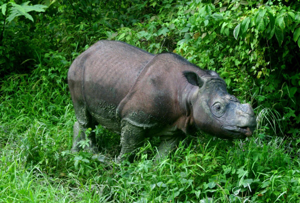 This Bornean rhino (<i>Dicerorhinus sumatrensis harrissoni</i>), Tam, is a captive individual representing hopes for ex-situ breeding of the Crtically Endangered subspecies of the Sumatran rhino.  Photo by Jeremy Hance.