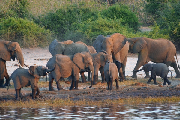 MAfrican elephants on the Chobe River in Botswana. From 2014 on, hunting will no longer be allowed in Botswana's public lands. Photo by: Tiffany Roufs.