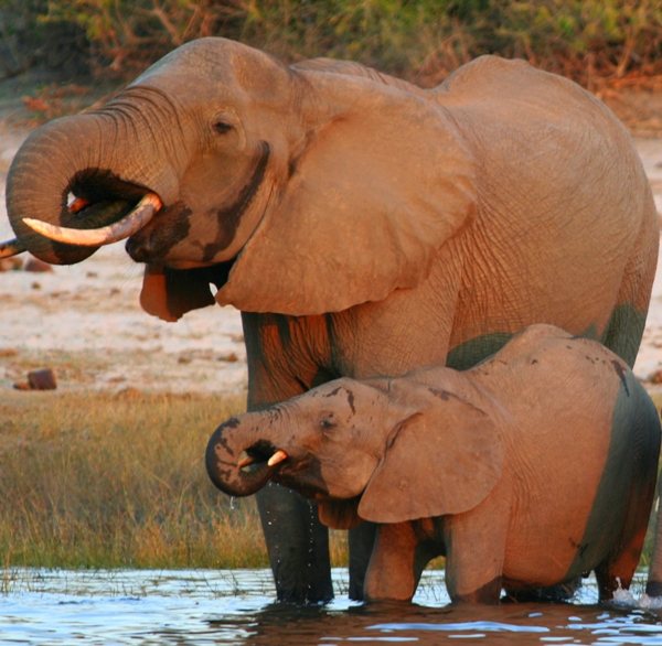 African elephant (Loxodonta africana) mom and juvenile drinking in the Chobe River . Photo by: Tiffany Roufs.