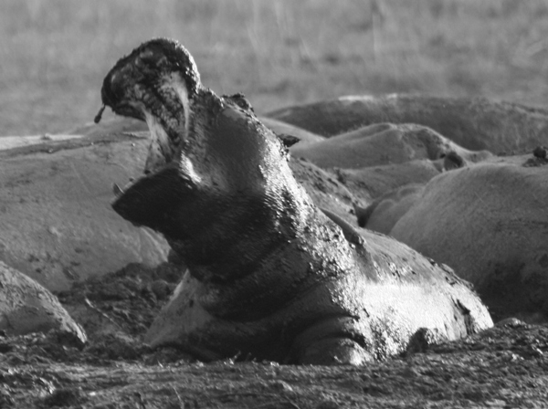 Hippos (Hippopotamus amphibius) in Chobe National Park