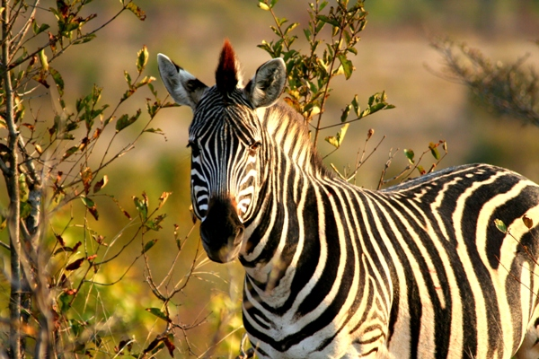 Zebra in Zimbabwe. Photo by: Tiffany Roufs.