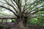 Banyan tree in Hawaii