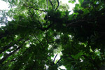 Rainforest canopy in Hawaii
