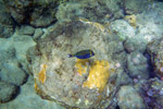 Blue boxfish (Ostracion meleagris)