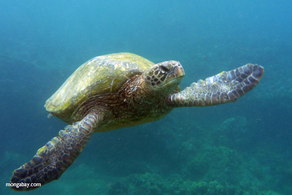 A green sea turtle.  Photo by Rhett A. Butler / mongabay.com