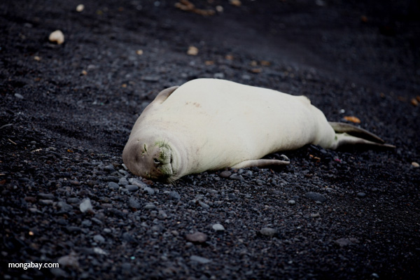 A Hawaiian monk seal at Hana Maui, Hawaii . Photo by: Rhett A. Butler.