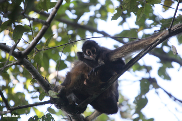 The Mexican spider monkey (Ateles geoffroyi vellerosus), a subspecies of Geoffroy's spider monkey, is classified as Critically Endangered by the IUCN Red List. Surviving in Mexico and parts of Central America, the species has been decimated by habitat loss. Photos by: Rhett A. Butler.