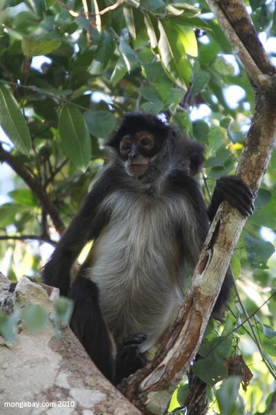 mexican spider monkey  ateles geoffroyi vellerosus