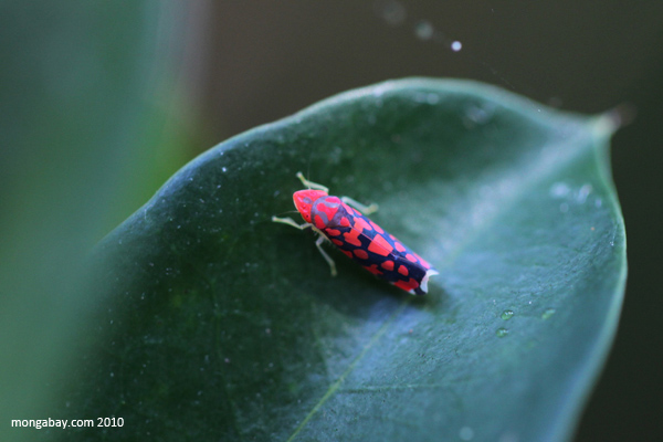 Neon pink planthopper