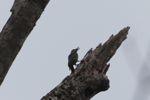 Woodpecker [panama_0018]