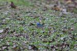 Blue tanager [panama_0032]