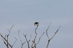 Vulture [panama_0049]