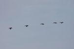Pelicans in flight [panama_0052]