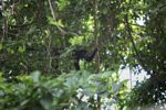 Male howler monkey [panama_0100]