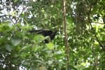 Male howler monkey [panama_0103]