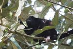 Male howler monkey [panama_0111]