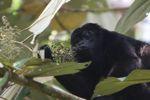 Male howler monkey [panama_0115]