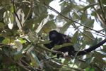 Male howler monkey [panama_0117]