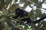 Male howler monkey [panama_0119]