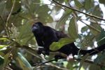 Male howler monkey [panama_0131]