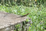Lizard [panama_0134]