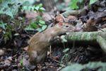 Lowland Paca (Cuniculus paca) [panama_0145]