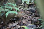 Lowland Paca (Cuniculus paca) [panama_0146]