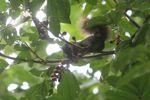 Squirrel eating fruit in Panama [panama_0152]